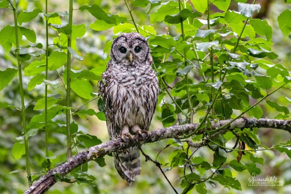 Barred Owl (Strix varia) in a Cascara Tree, Willamette National Forest, Pacific Northwest