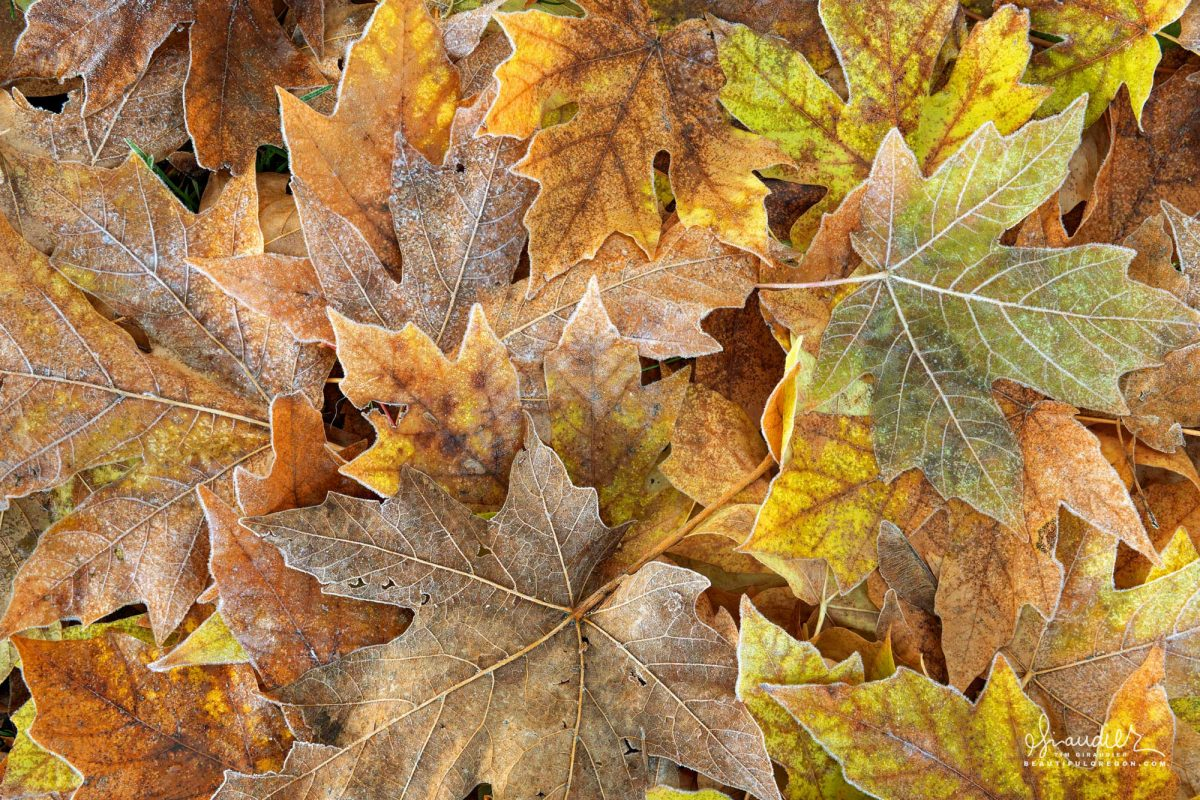 Bigleaf Maple leaves (Acer macrophyllum) in autumn color, fallen and frosted with ice