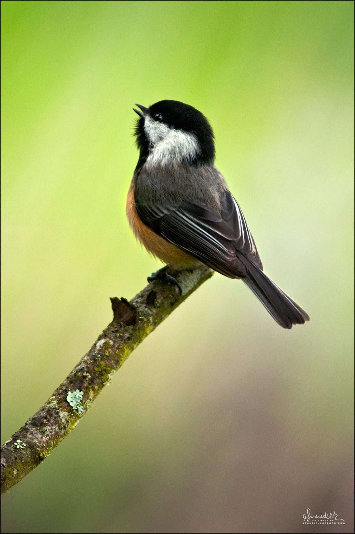 atricapillus) bird watching in Oregon and Pacific Northwest