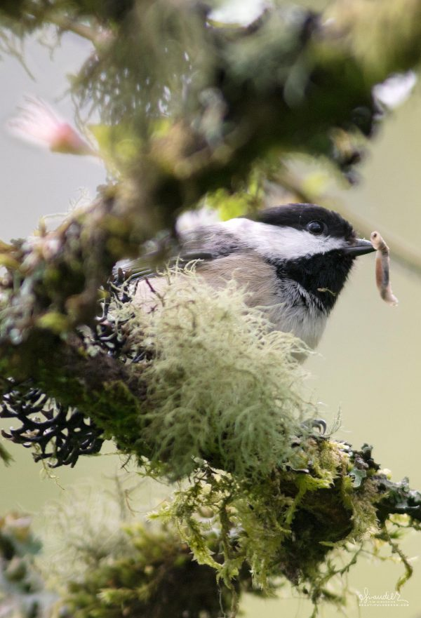A Black-capped Chickadee (Poecile atricapillus) probes for insects in woodland lichen and moss. Hendricks Park. Oregon bird watching photography.
