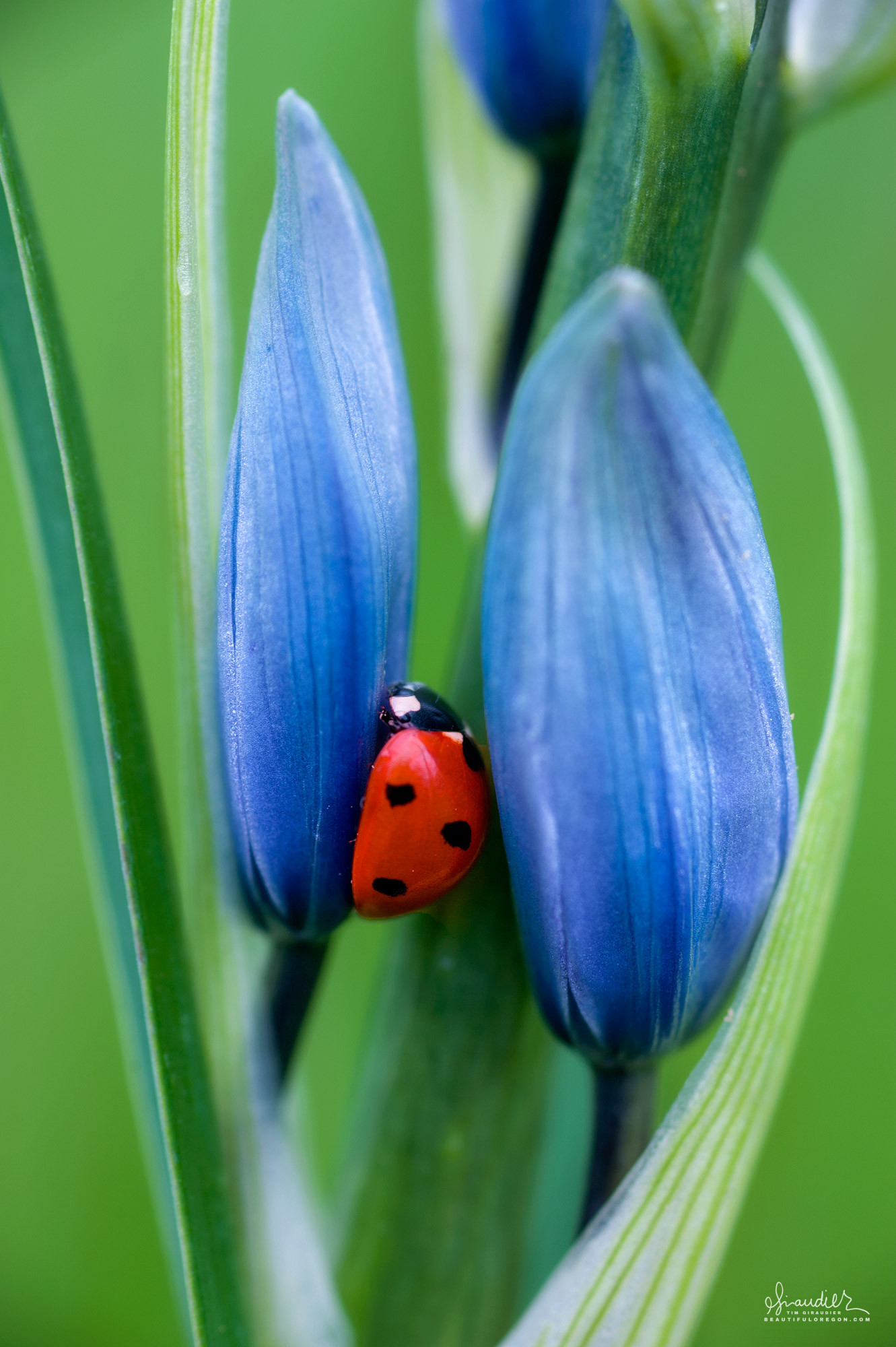 A Seven-spot Ladybug (Coccinella septempunctata) nestles itself amongst the buds of a Camas Lily at Mount Pisgah Arboretum.