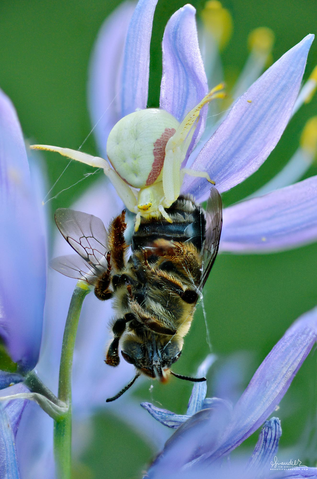 A white Goldenrod Crab Spider (Misumena vatia) feeds upon a wild honey bee in camas lily