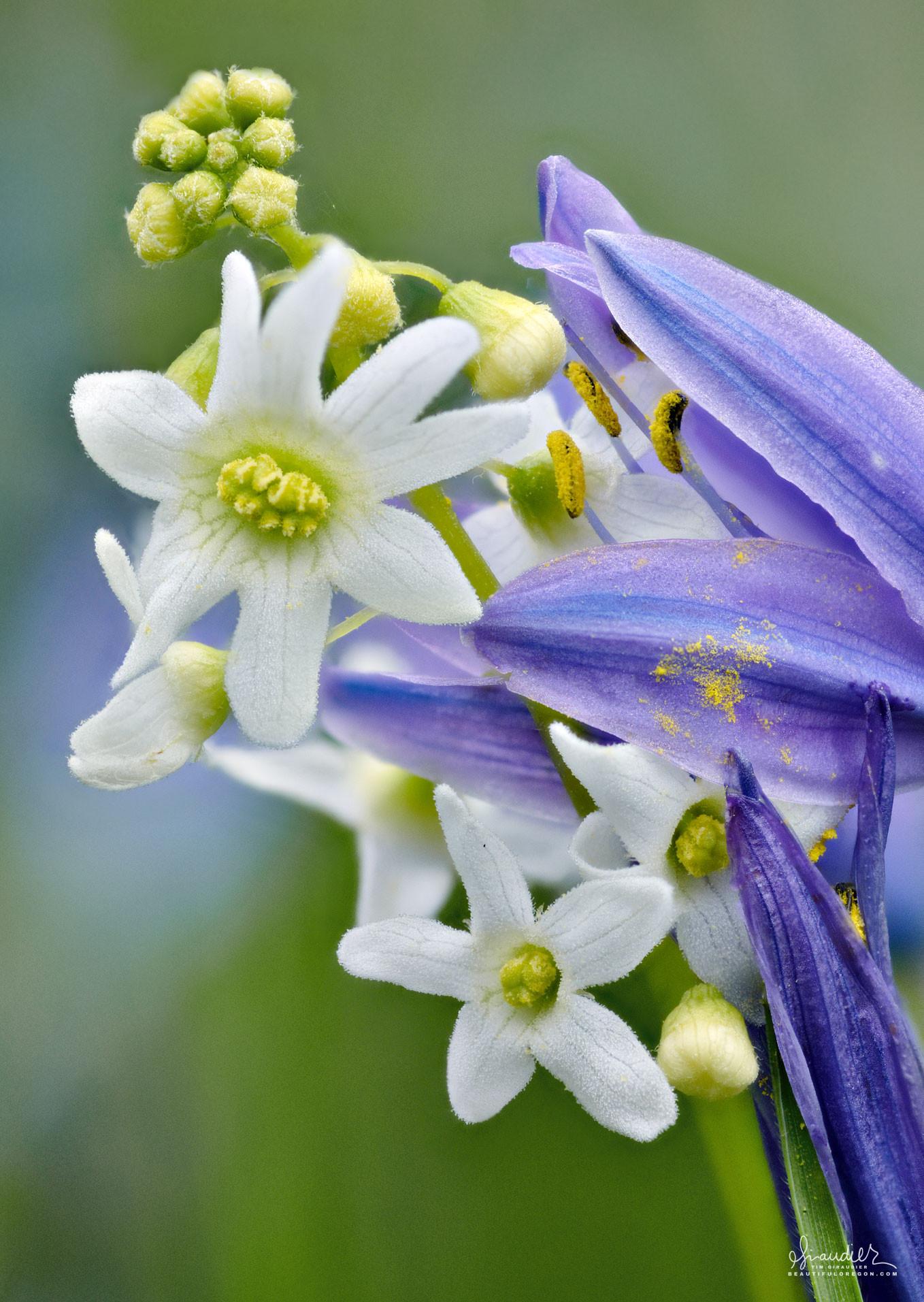 camas lily wildflower manroot