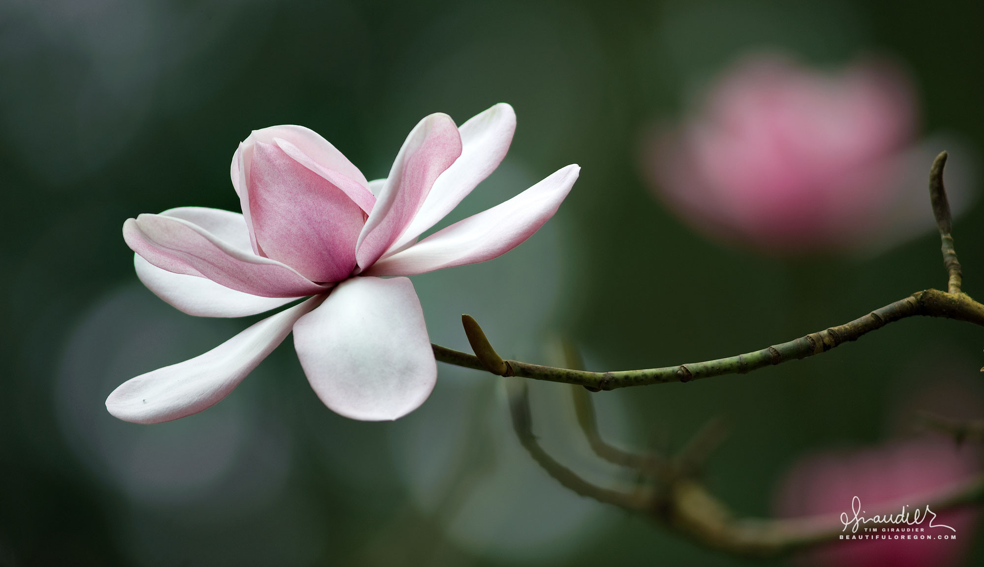 Campbell's Magnolia (Magnolia campbellii) Hendricks Park, Eugene Oregon