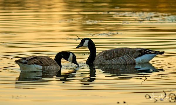A mated pair of Canada Geese (Branta canadensis) amidst autumns golden reflections.
