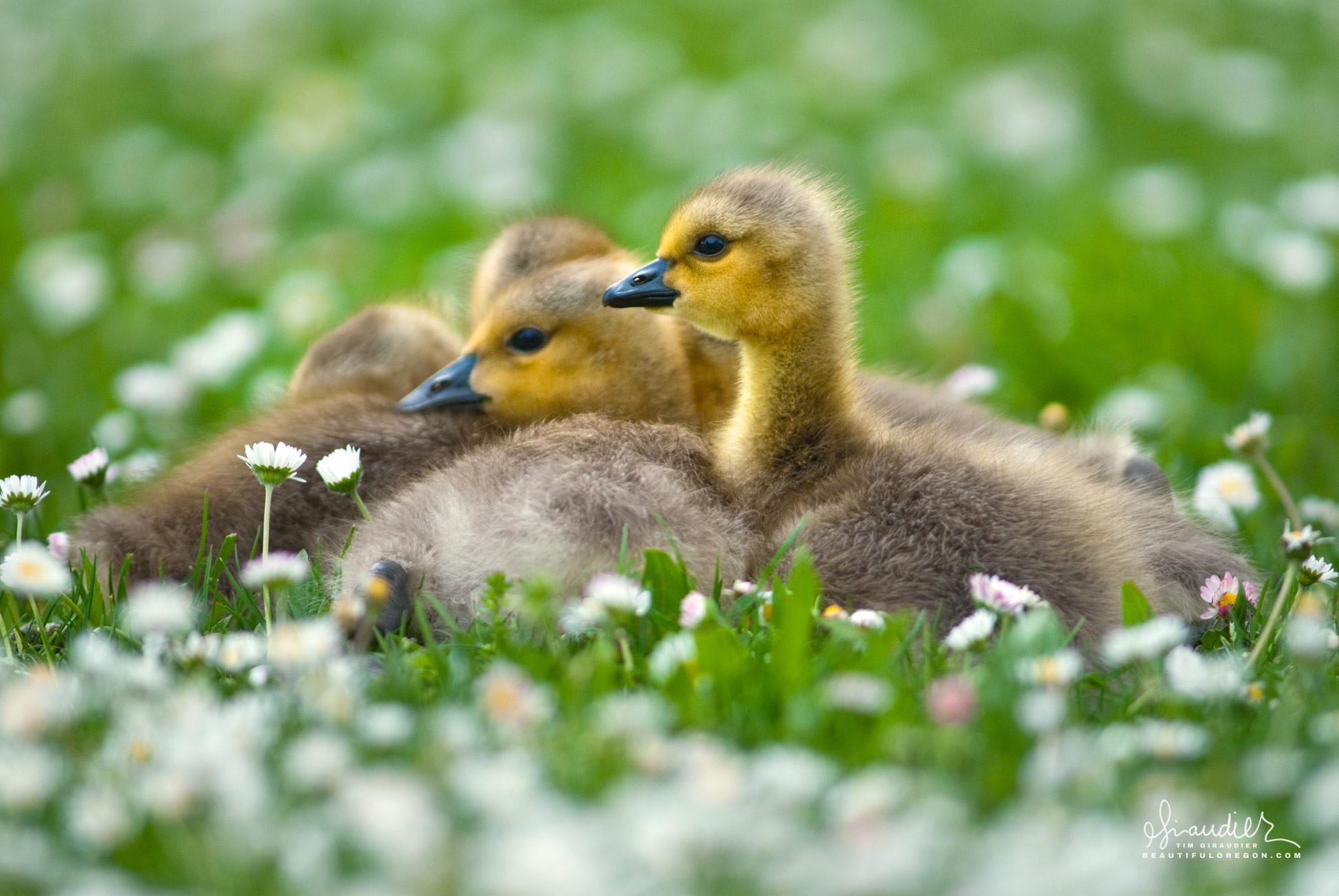 Canada Goose goslings (Branta canadensis) Western Oregon