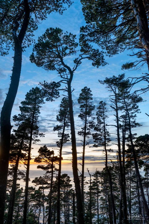 Cape Sebastian coastal pine forest at sunset. Curry County, South Oregon Coast.