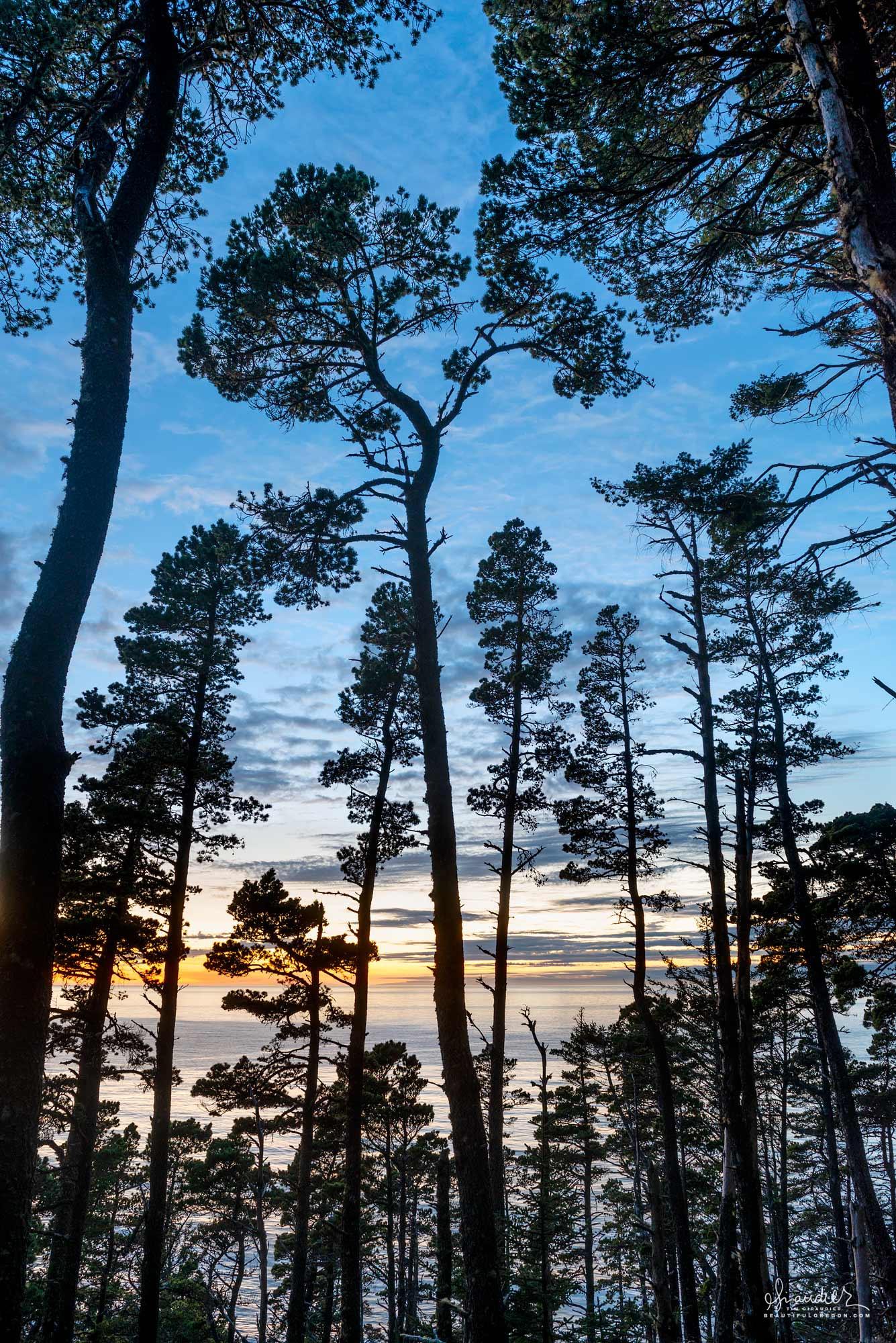 Cape Sebastian coastal pine forest at sunset. Curry County, South Oregon Coast.