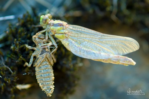A Columbia Clubtail dragonfly (Gomphurus lynnae) has just emerged from its larval stage. The molted husk which it has shed is call an exuvia, and is a characteristic of the large Arthropods. Umpqua River, Douglas County, Oregon Coast Range.