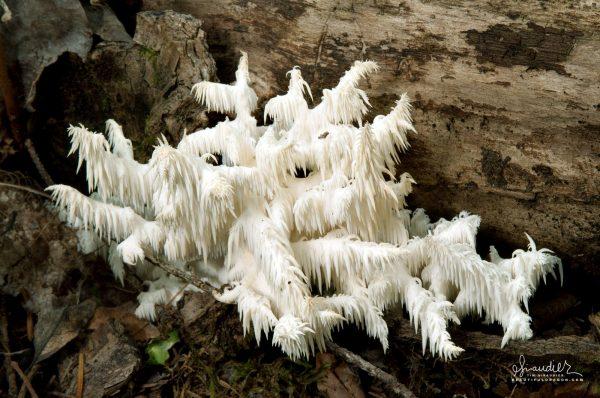 Comb Hericium Fungus (Hericium ramosum) mushrooms of western Oregon