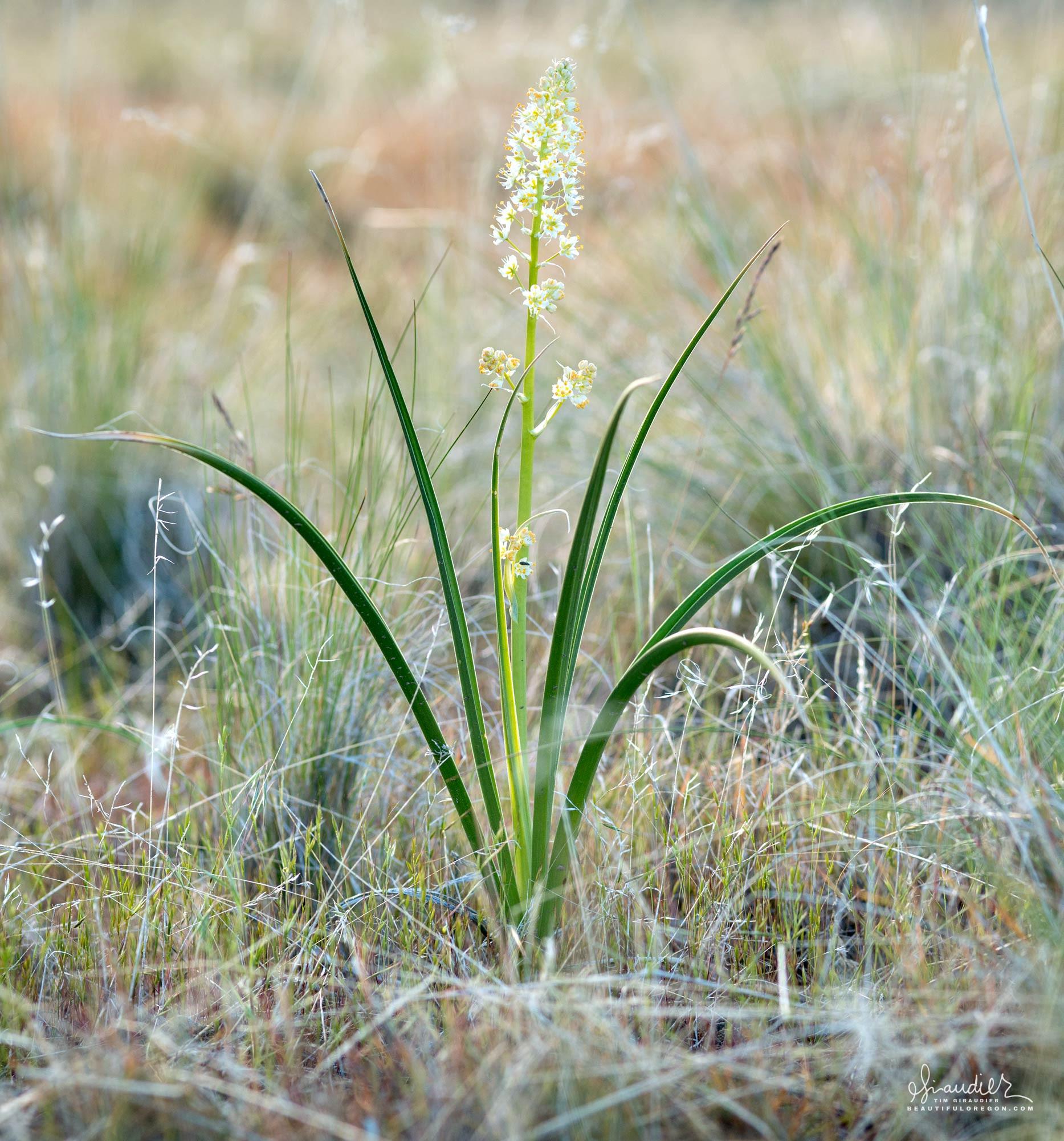 Meadow Death Camas (Zigadenus venenosus)