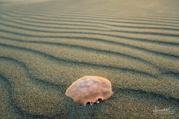 Dungeness Crab carapace, Oregon coast beaches