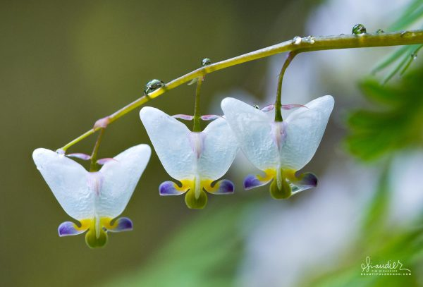 Dutchmans Breeches (Dicentra cuculllaria) wildflowers of Oregon and the Columbia River Gorge