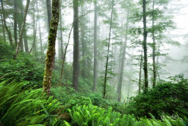 A foggy forest of Sword Fern, Red Alder and Doug-fir in the Elliott State Forest. Coos County, Oregon Coast Range landscape photography.