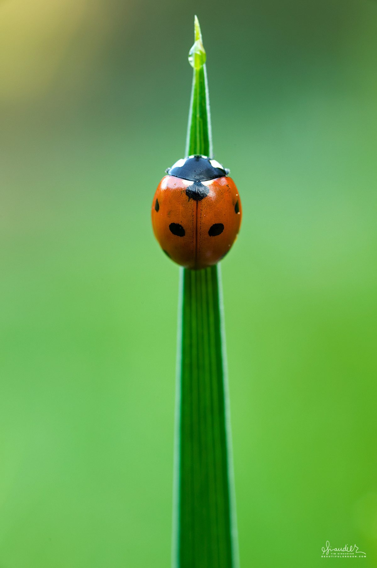 A Seven-spotted Ladybug (Coccinella septempunctata) awakes from evening chill atop a blade of grass. Hendricks Park, South Willamette Valley.