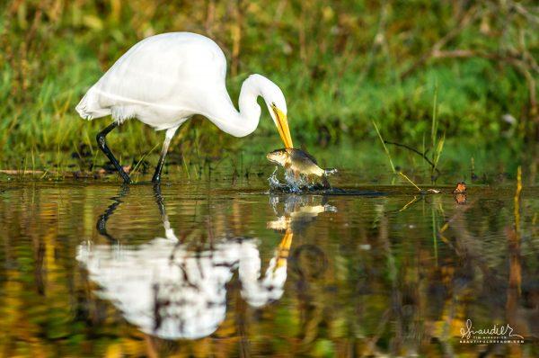 A Great White Egret (Ardea alba) catches a Common Carp (Cyprinus carpio)