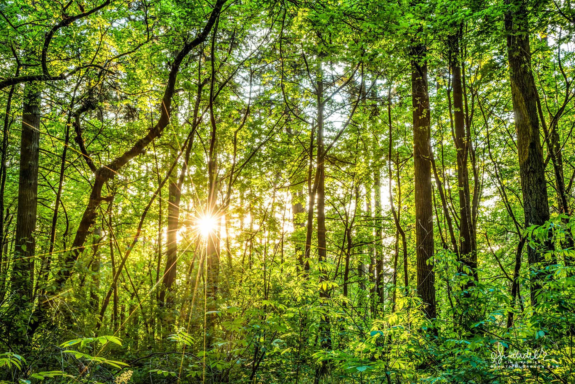 Spring-time sunset fills woodland forest of Bigleaf Maple and Doug-fir with warm light. Hendricks Park. Eugene, Oregon.