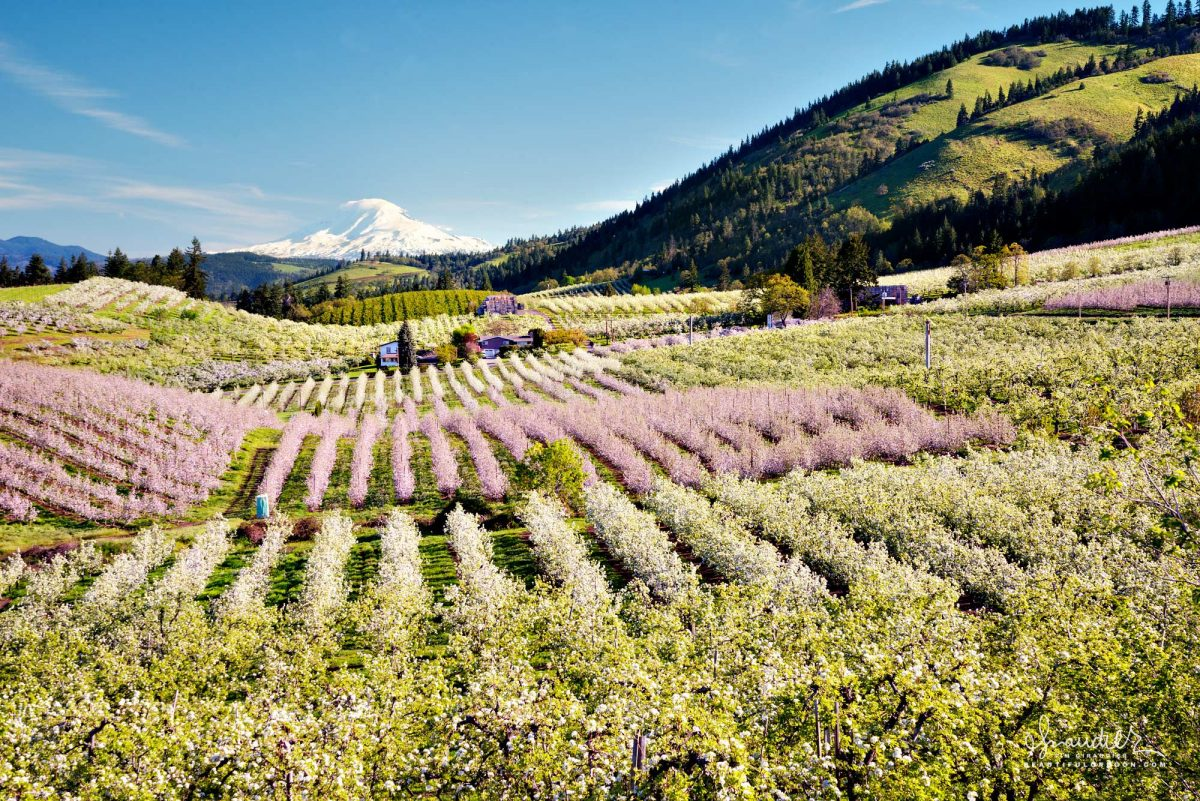 Mount Adams and the pear and apple orchards of the Hood River Valley. Hood River County, Oregon.