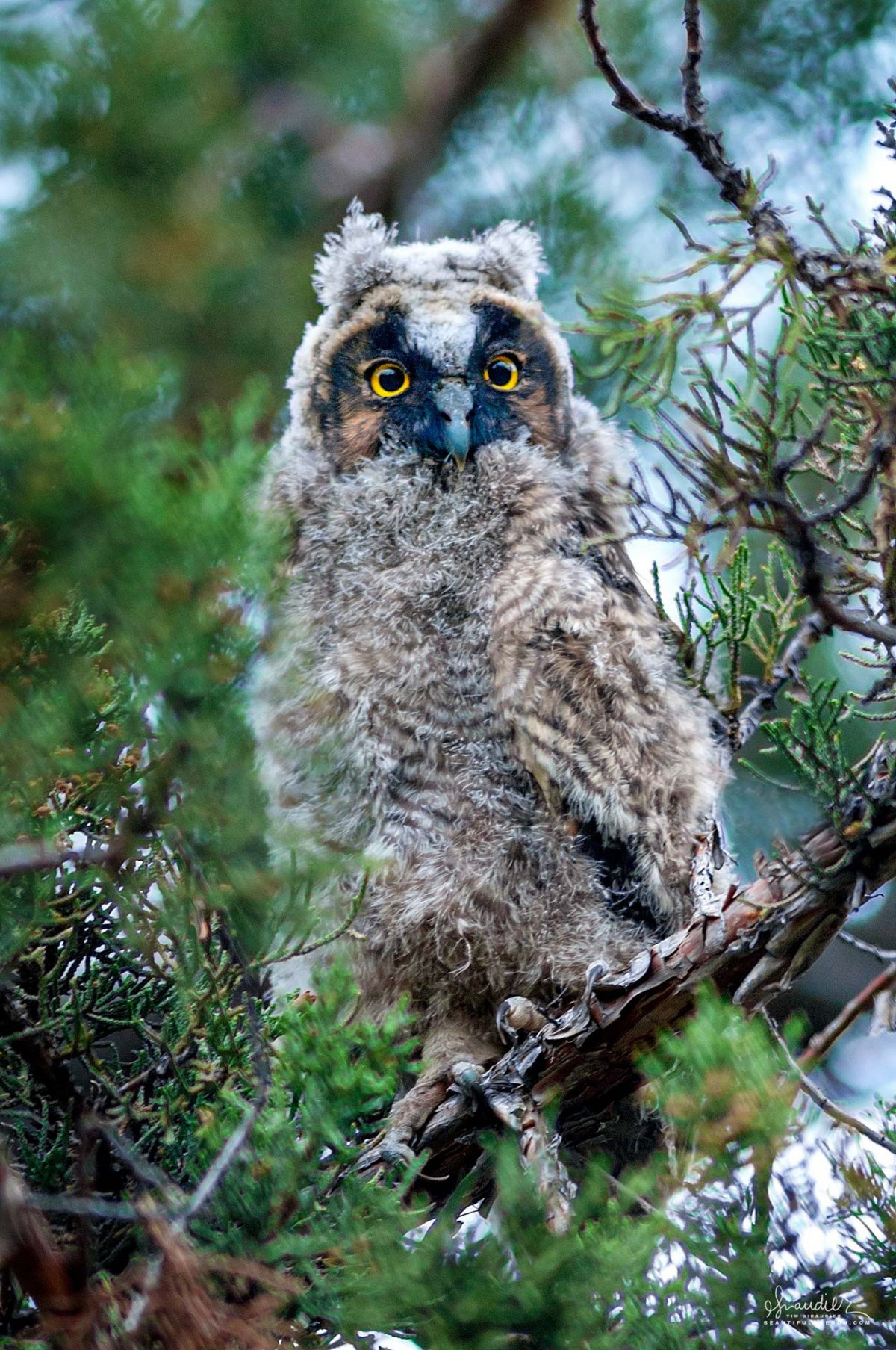 Long-eared Owl (Asio otus) in Juniper Tree. Owls of Oregon and Pacific Northwest