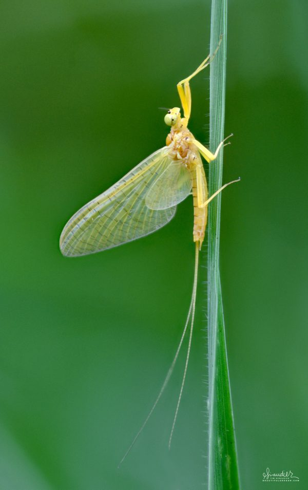 Mayfly of Oregon and Pacific Northwest. Pale Evening Dun (Ephemerella dorothea)