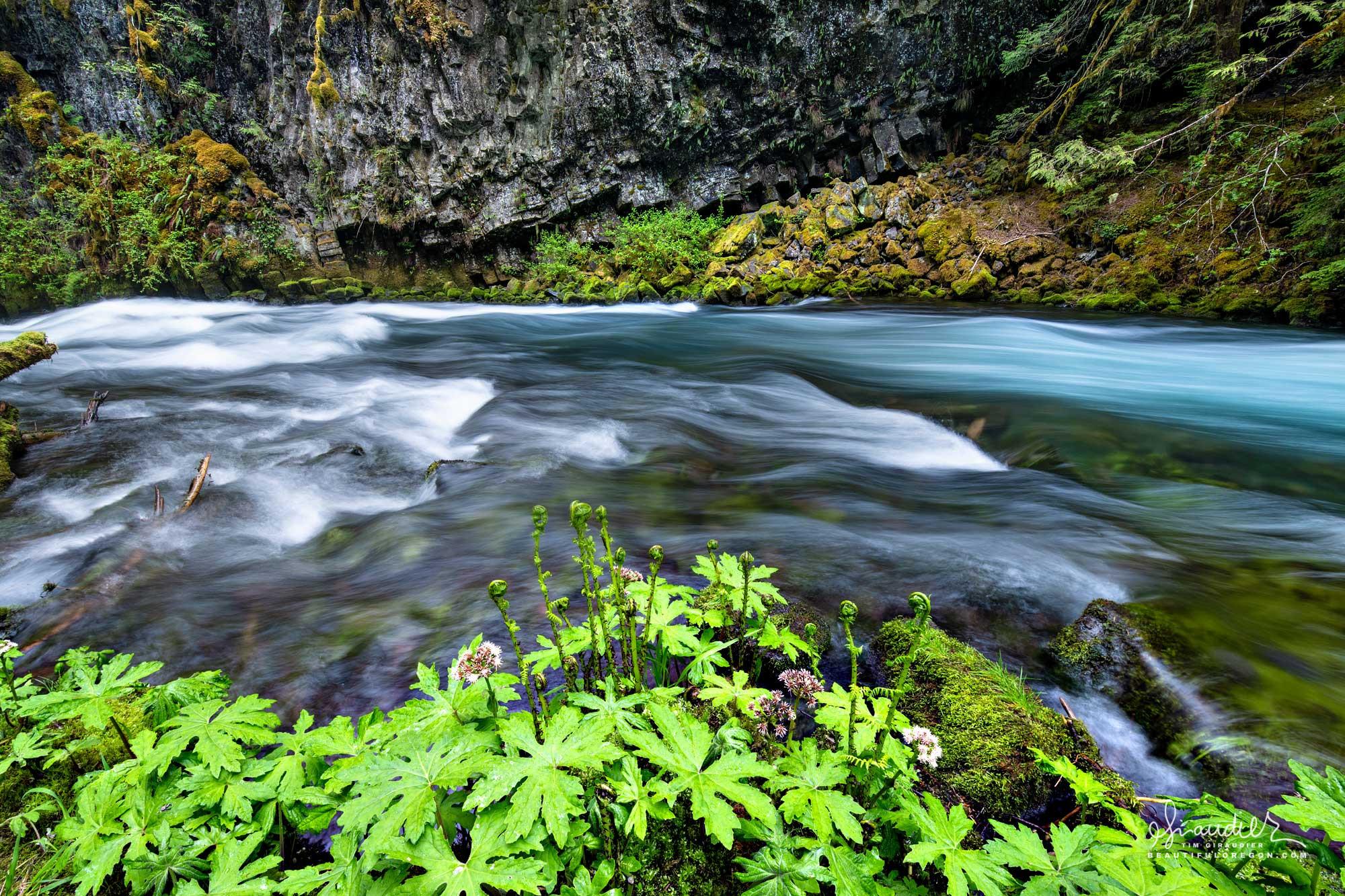 Palmate Coltsfoot (Petasites palmatus) and Lady Fern (Athyrium filix-femina) thrive along the McKenzie River. Willamette National Forest, Oregon West Cascades.