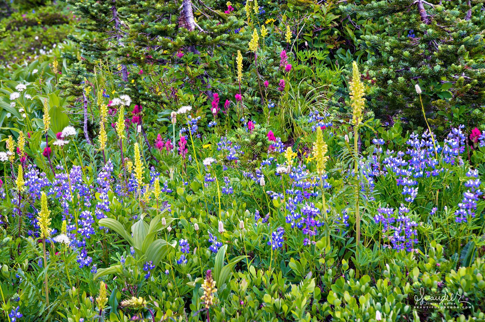 The wildflower wonderland at Paradise Meadows, Mount Rainier National Park. Washington State Cascades.