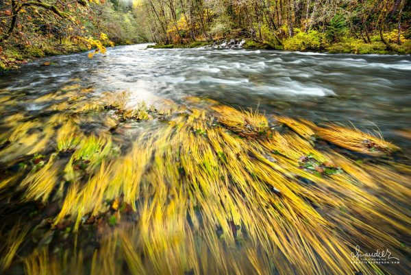Sedge turned yellow by autumn bends with winter high water along the North Fork of Middle Fork Willamette River. Willamette National Forest, Oregon West Cascades.