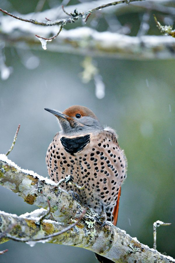 A Northern Flicker (Colaptes auratus) braced against winter storm. Oregon Cascades.