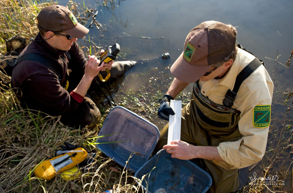 ODFW fisheries personal survey the Willamette River for juvenile salmon smolts. Recording measurement for Chinook Salmon near Eugene Oregon.