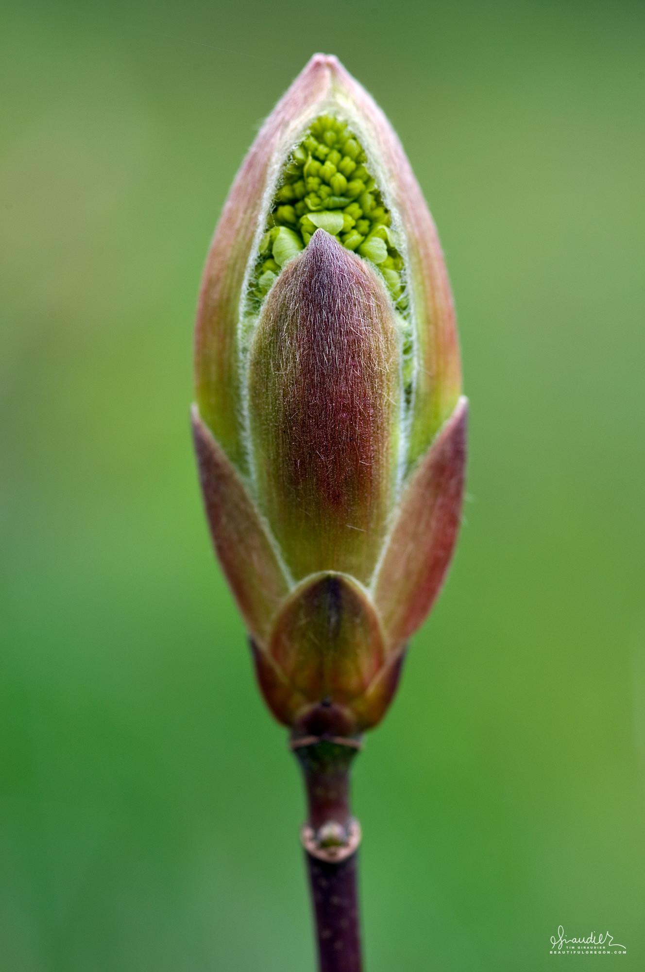 Oregon Maple Acer macrophyllum