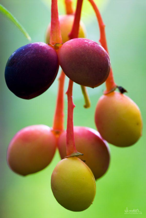 The ripening fruit of the Oso Berry (Oemleria cerasiformis)