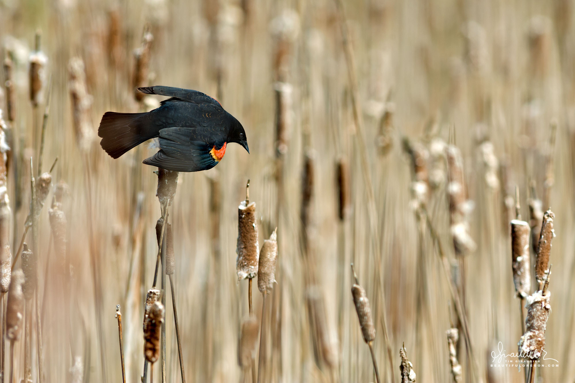 A Red-winged Blackbird (Agelaius phoeniceus) attempts to attract a mate from a bramble of marshland cattail. Berggren Farm. Lower McKenzie River, Oregon.