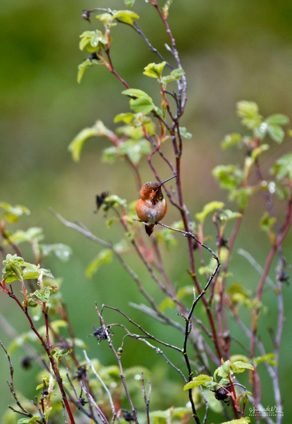 A Rufous Hummingbird (Selasphorus rufus) rests on branch of Nootka Rose during mating season. South Willamette Valley, Oregon bird watching photography.