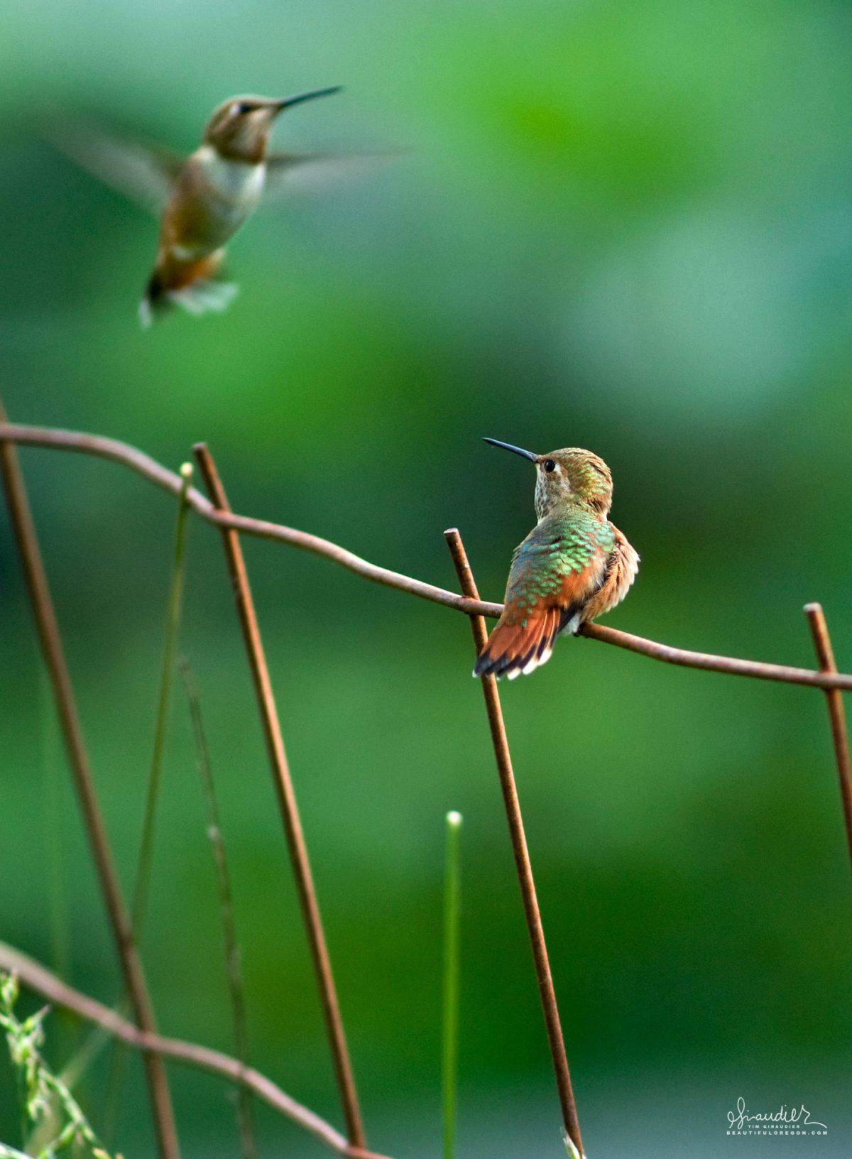 Rufous Hummingbirds (Selasphorus rufus) mating display. birds of Oregon and the Pacific Northwest