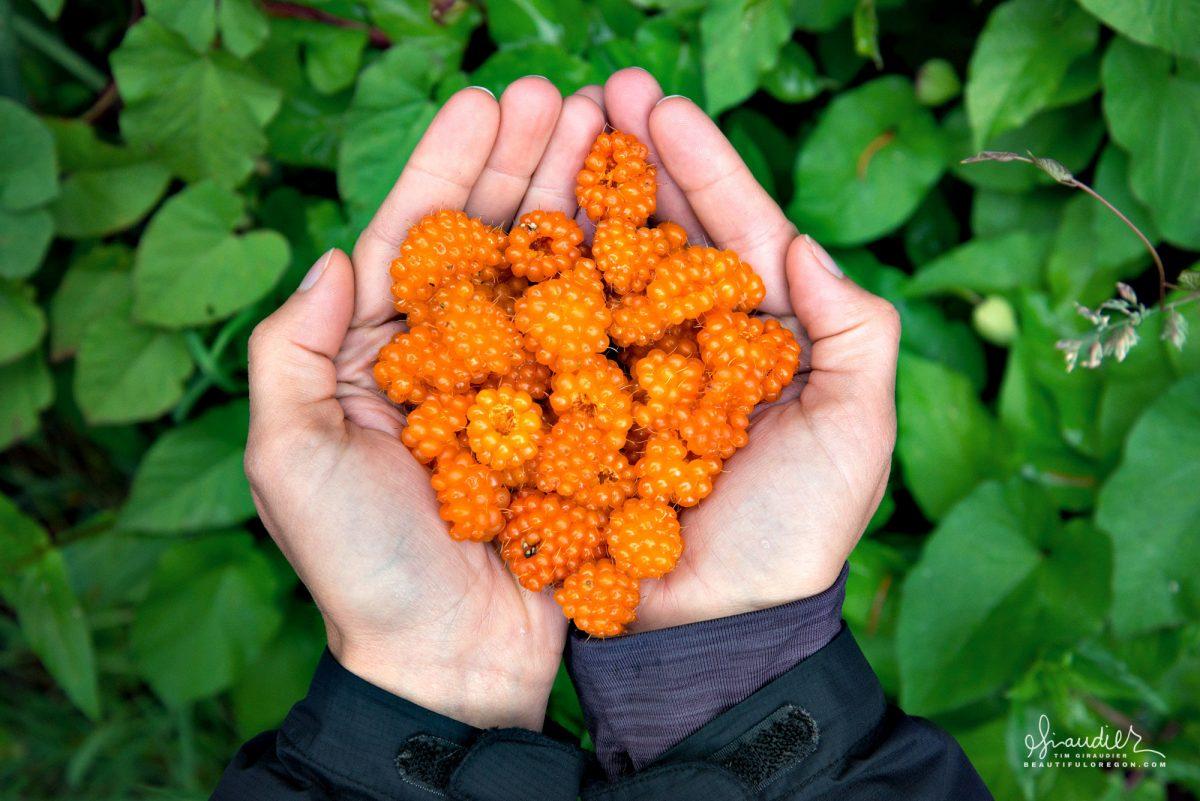 Salmon Berries (Rubus spectabilis) Elliott State Forest, Oregon Coast Range