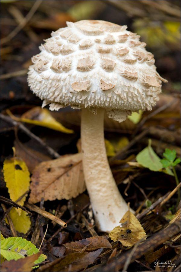 Shaggy Parasol Lepiota rachodes mushrooms of Oregon and the Pacific Northwest