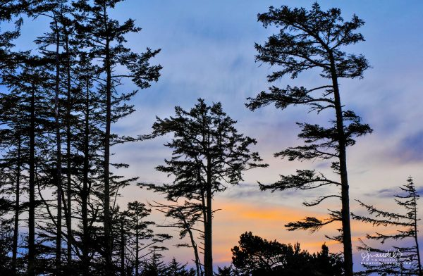 Sunset silhouettes of Sitka Spruce along the footpath at Shore Acres State Park. Coos County, Cape Arago, Oregon South Coast.