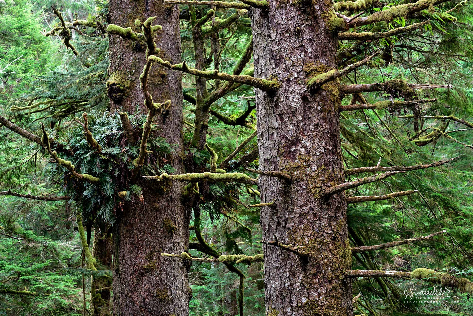 Old-growth Sitka Spruce and Evergreen Licorice Fern. Siuslaw National Forest. Lane County, Oregon Coast Range.