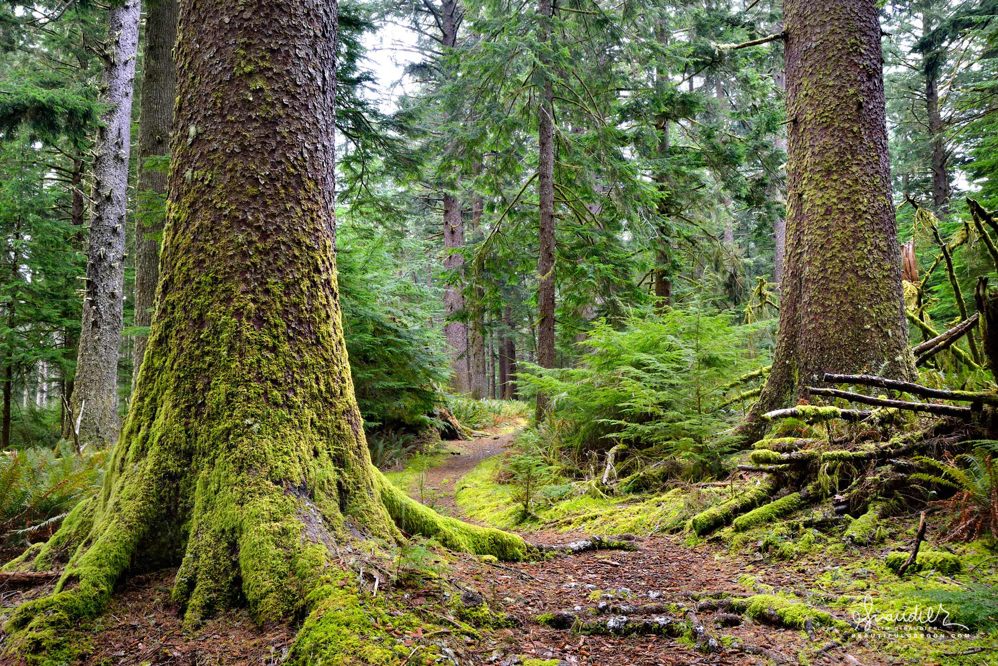 A Sitka Spruce with magnificent buttressed roots spans the trail at Cape Ridge. Siuslaw National Forest, Oregon Coast Range photography.