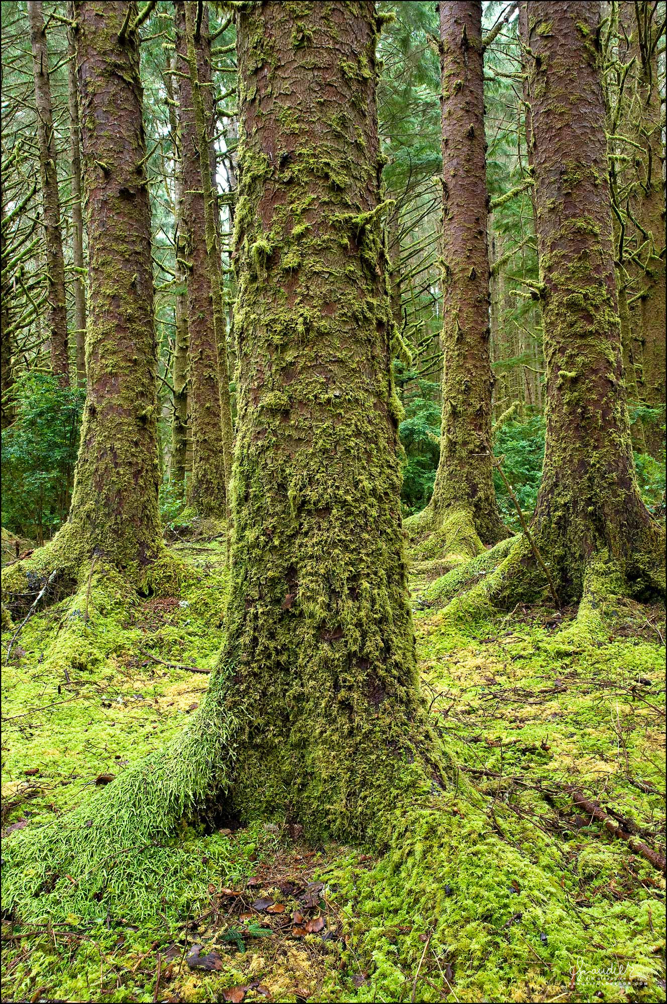 Sitka Spruce (Picea sitchensis) in a mossy forest. Siuslaw National Forest. Lane County, Central Oregon Coast