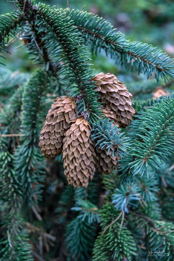 Sitka Spruce cones (Picea sitchensis) have matured and opened to release their seeds. Siuslaw National Forest, Oregon Coast Range.