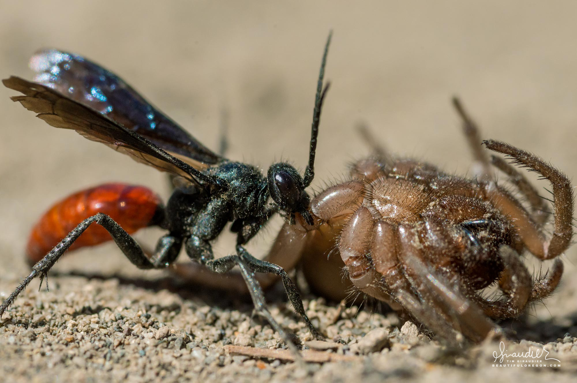 A spider wasp (family Pompilidae) drags pray to its burrow. Smith Rock State Park. Deschtues County, Central Oregon.