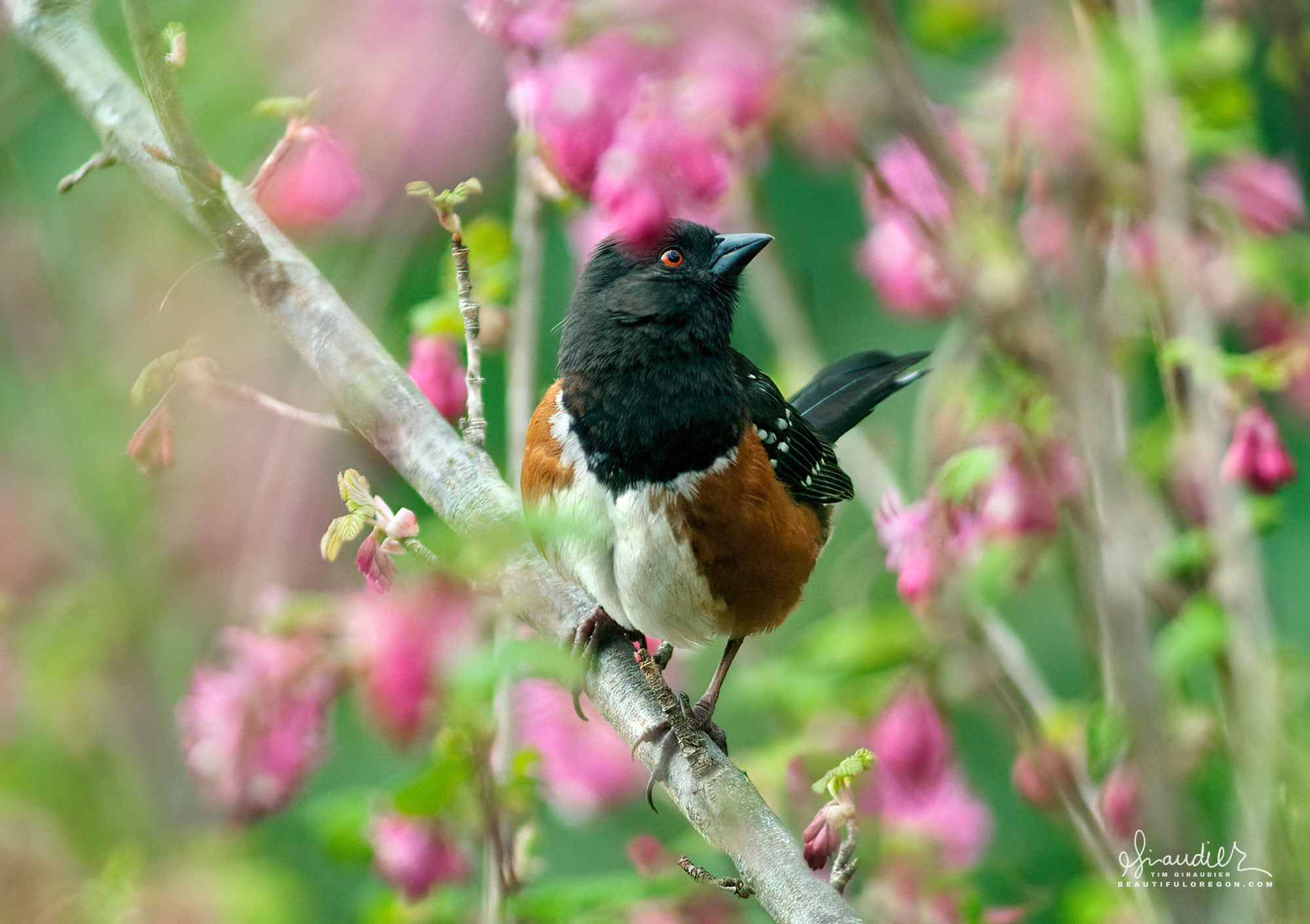 A Spotted Towhee (Pipilo maculatus) surveys its surroundings from the safety of a flowering current. Hendricks Park, South Willamette Valley. Oregon bird watching photography