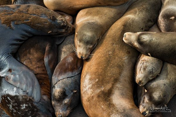 Stellar Sea Lions (Eumetopias jubatus), snoozing along a dock along Newport's commercial waterfront. Lincoln County, Oregon Central Coast.
