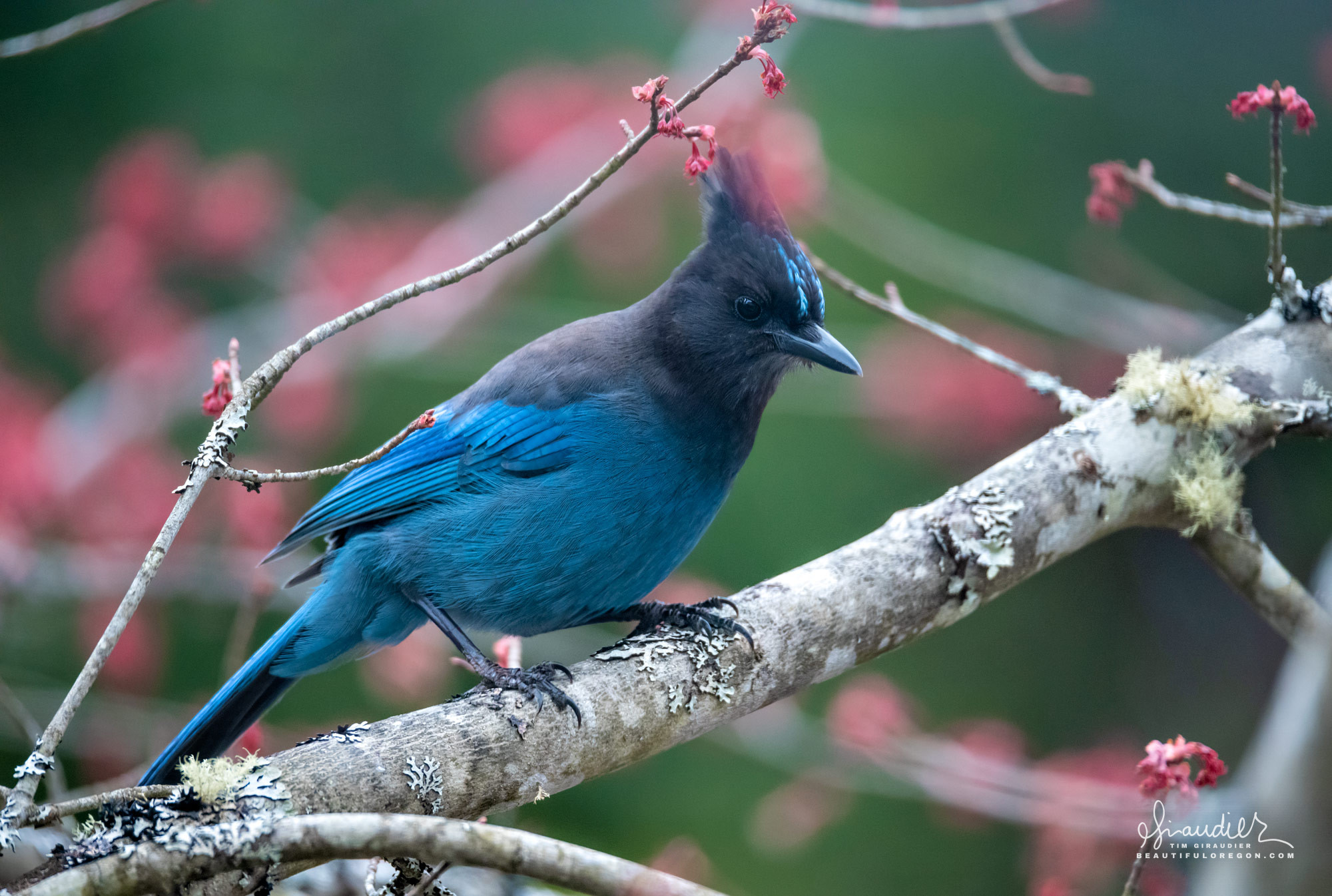 A Stellers Jay (Cyanocitta stelleriellers) perches from tree along Willamette River. Bird watching in Oregon and pacific northwest