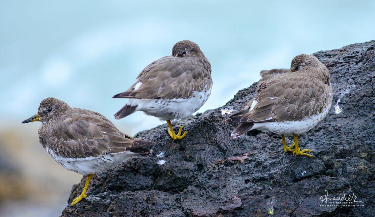 Juvenile Surfbirds (Aphriza virgata) doze off on intertidal rocks at high tide. Yachats, Oregon Central Coast.