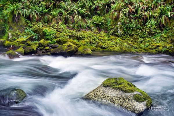 Sweet Creek tumbles past mossy rocks and Sword Ferns on its way to confluence with the Siuslaw River. Siuslaw National Forest, Oregon Coast Range.