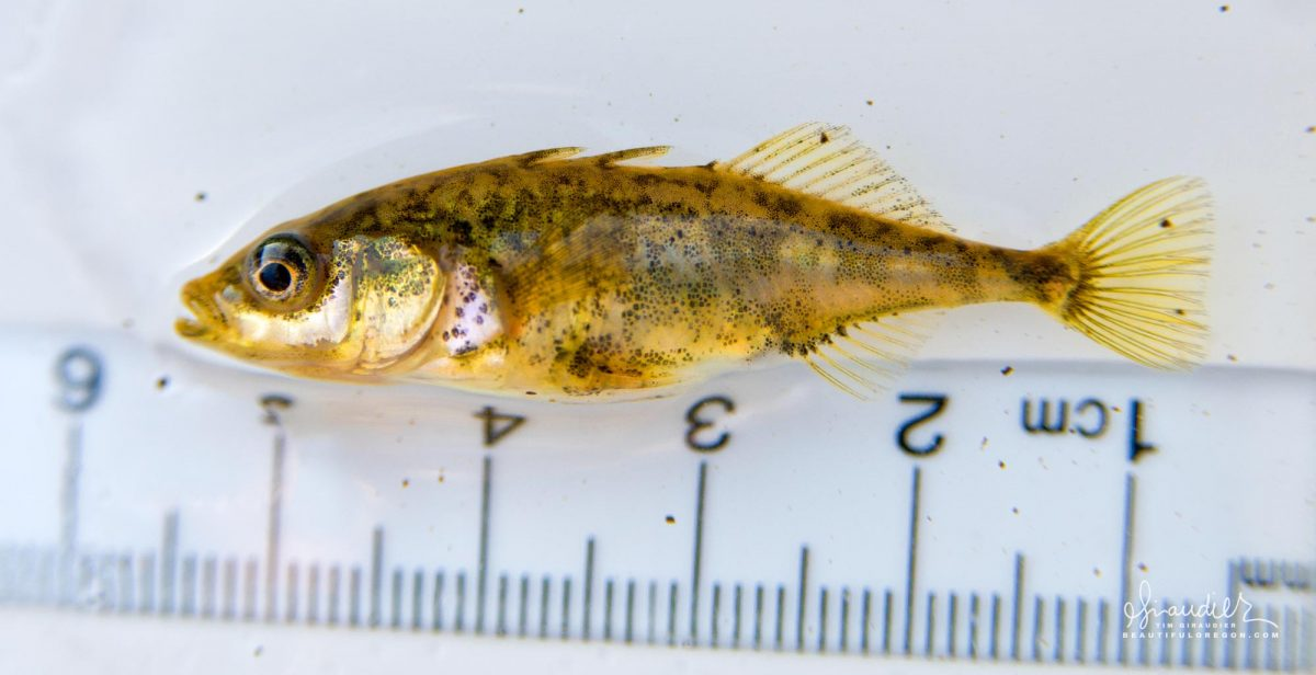 Three-spined Stickleback (Gasterosteus aculeatus) Middle Fork Willamette River, Oregon