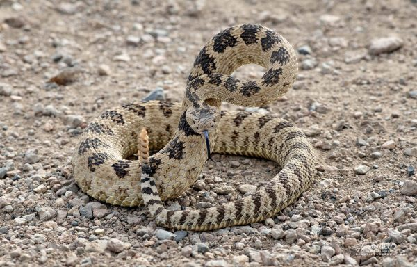 Western Pacific Rattle Snake (Crotalus oreganus) takes defensive posture in Owyhee Canyon Lands. Malheur County, Oregon.
