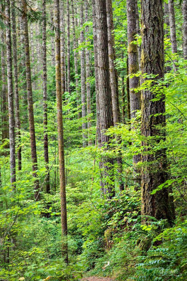 Willamette National Forest Douglas fir North Fork Willamette trail